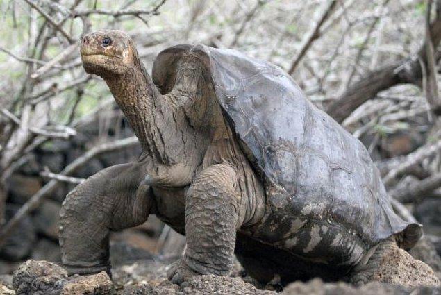 Se extingue especie de tortuga gigante con la muerte del Solitario Jorge